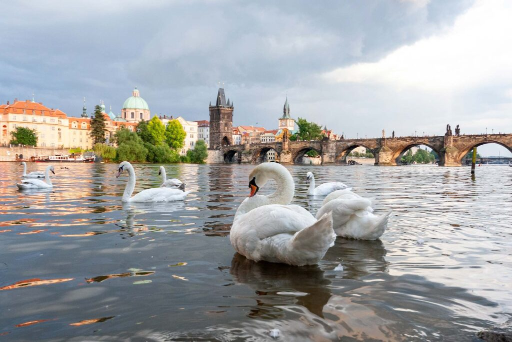 Praga cisnes en el Rio Moldava