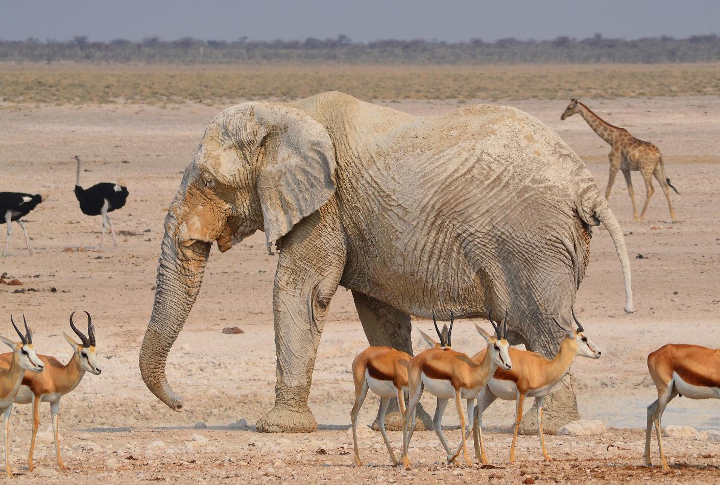 Elefante en el Parque Nacional de Etosha. Oferta viaje Africa al completo.