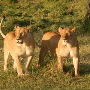 Leonas en Monte Kenya. Oferta viaje Kenya.