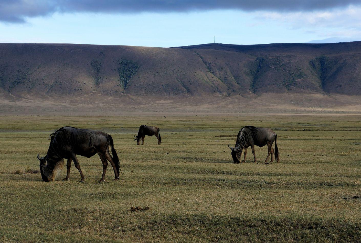 Ñus en el Cráter del Ngorongoro, Tanzania