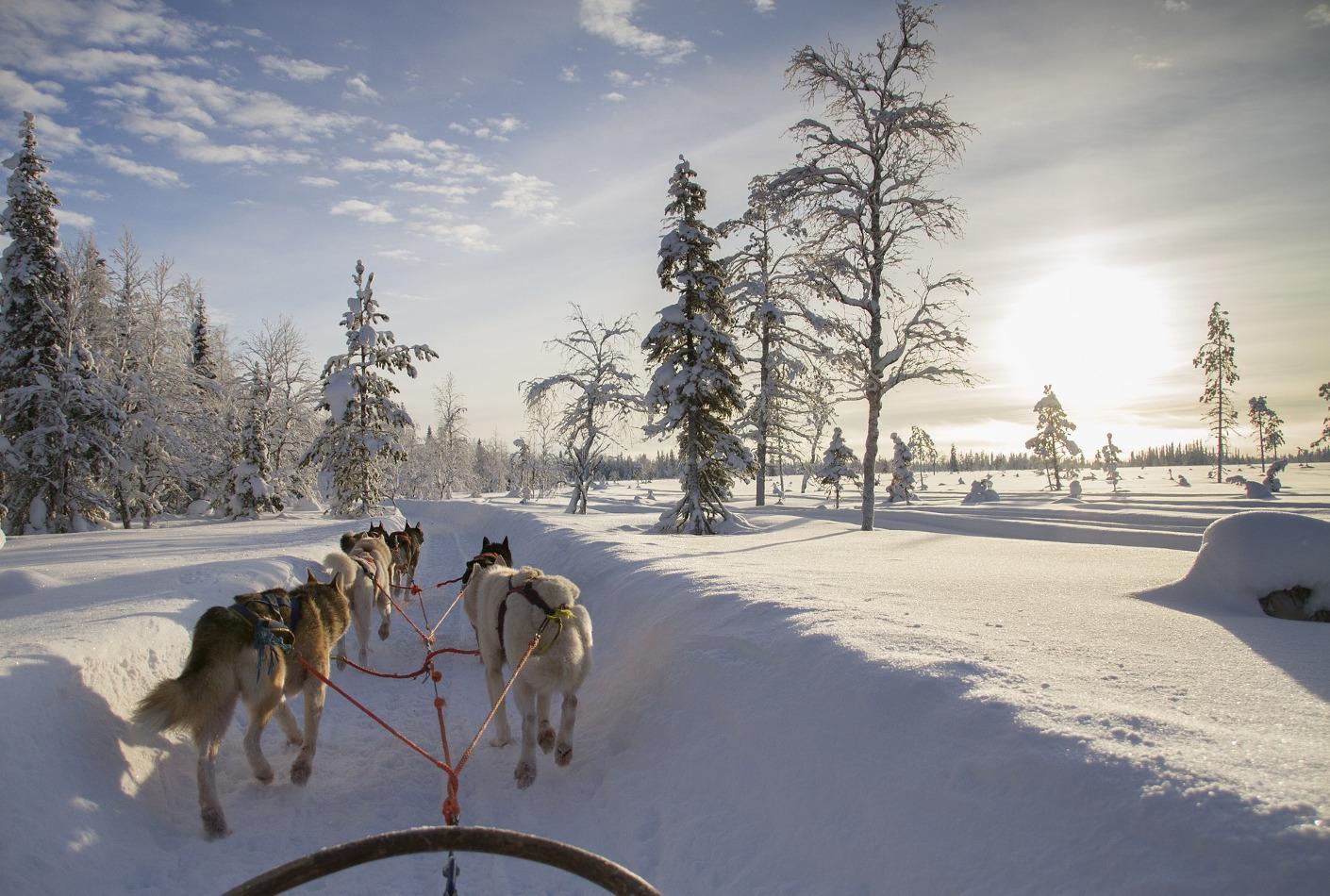 Trineo tirado por huskys en Laponia. Oferta viaje Finlandia.