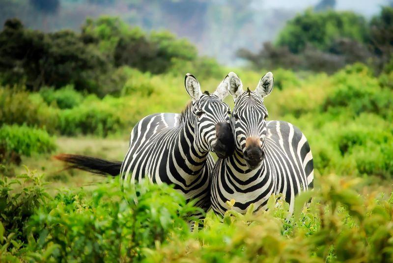 Cebras en Kenya
