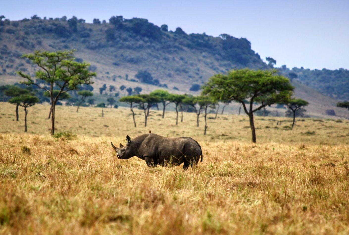 Rinoceronte en el PArque Nacional de Maasai Mara